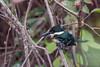 _61B3607 Pygmy Kingfisher