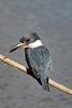 _61B3695 Kingfisher