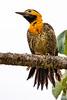 _61B3567  Campo Flicker woodpecker