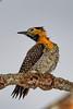 Campo Flicker woodpecker