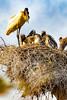 _61B3691Jabiru and chicks