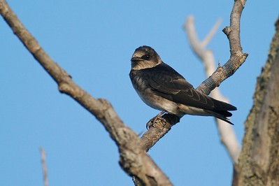 Purple Martins are large swallows [July; Park Point, Duluth, Minnesota]