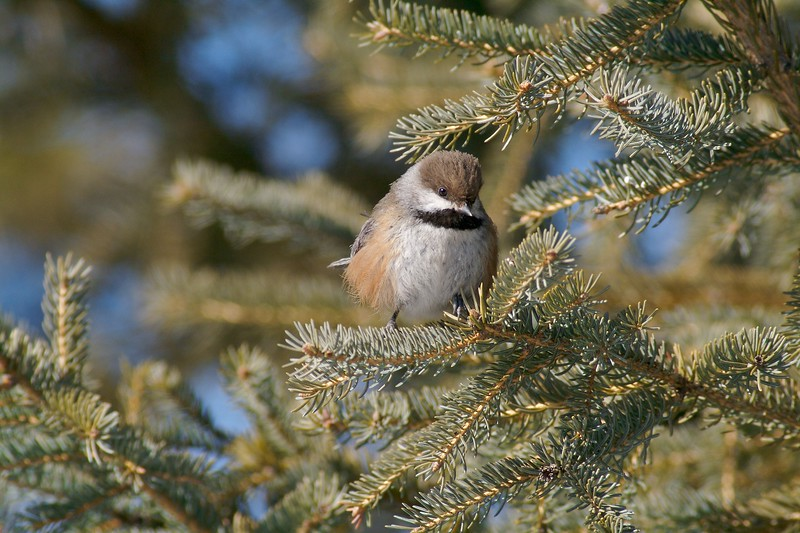 Boreal Chickadee [March; Sax-Zim Bog, Minnesota]