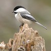 Black-capped Chickadee [March; Skogstjarna Carlton County Minnesota]