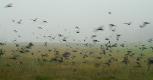 Blackbirds rise from a hayfield [October; Carlton County, Minnesota; 1/60 second]