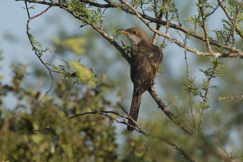 Yellow-billed Cuckoos rarely show themselves [August; Sick Dog Ranch near Alice, Texas]