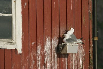 Black-legged Kittiwakes own the Lofoten Islands. And what better place to be? The major cod fishery in the world [July; Lofoten Islands, Norway]