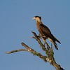 Related to vultures, Crested Caracaras are part of the clean up crew in South Texas