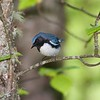 Black-throated Blue Warblers nest in surprising numbers in extreme northeastern Minnesota. They like big old birches, aspens or maples above a dense shrub layer with mountain maple, and preferably on a slope [June; Cook County, Minnesota]