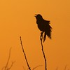 Still singing at sunset, this newly-arrived male Red-winged Blackbird is intent on setting up his territory [April; Crex Meadows, Wisconsin]