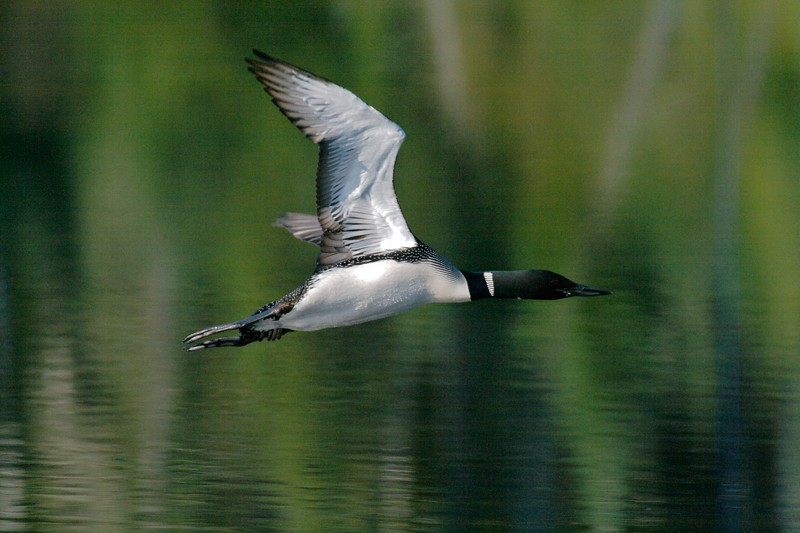 Though unable to walk on land, Common Loons have been clocked at 107 mph in flight! [August; BWCAW Northern Minnesota]