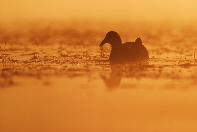 An American Coot becomes a silhouette during a fiery sunrise on a Wisconsin marsh [October; Tobin-Kimmes Wetlands, Douglas County, Wisconsin]