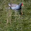 The Common Moorhen's favorite habitat; weedy shallows near dense cover. [December; Everglades National Park, Florida]