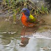 One of the most colorful birds in North America—the Painted Bunting  [June; Sick Dog Ranch near Alice, Texas]