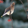 Cedar Waxwing feeding on Mountain Ash berries; Over 350 birds in this one flock [December; Cloquet, Minnesota]