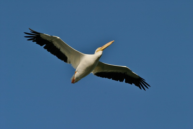For such large and awkward-looking birds, American White Pelicans are the picture of grace in the air [December; Ding Darling NWR Sanibel Island Florida]