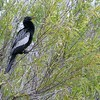 """Also called the """"snakebird,"""" the Anhinga is a fish-eating water bird. [December; Everglades National Park, Florida]"""