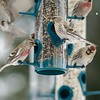 Common Redpolls at feeding station [February; Sax-Zim Bog, Minnesota]
