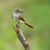 Brown-crested Flycatcher [June; Sick Dog Ranch near Alice, Texas]
