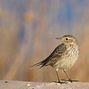 The American Pipit was formerly know as the Water Pipit [December; Bosque del Apache National Wildlife Refuge, San Antonio, New Mexico]