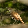 A Long-billed Thrasher visits the backyard oasis of Allen Williams [April; Pharr, Texas]Rio Grande Valley, Lower Rio Grande Valley, Texas bird