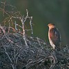 Cooper's Hawk [February; Sick Dog Ranch near Alice, Texas]