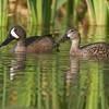 A mated pair of Blue-winged Teal in a cattail marsh [April; Krenmueller Farms, Lower Rio Grande Valley, Texas]