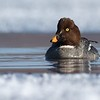 Common Goldeneyes are one of the few ducks that relishes winter in the North. They stay around all winter if there is sufficient open water. This female only needed a sliver in the St. Louis River estuary. [March 2; St. Louis River, Riverside, Duluth, Minnesota]