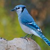 Blue Jay [October; Carlton County, Minnesota]