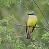 Couch's Kingbird [April; Krenmueller Farms, Lower Rio Grande Valley, Texas]