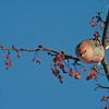 A male Pine Grosbeak making headway in stripping and ornamental fruit tree [December; UMD campus, Duluth, Minnesota]
