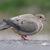 Mourning Dove preening [May; Park Point Duluth, Minnesota]