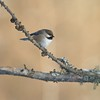 Unlike Black-capped Chickadees, Boreal Chickadees rarely go to sunflower seeds, preferring suet [January; Admiral Road Sax-Zim Bog Minnesota]