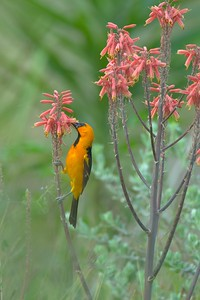 An Altamira Oriole feeds on nectar from a Red Yucca in South Texas [April; Krenmueller Farms, Lower Rio Grande Valley, Texas]