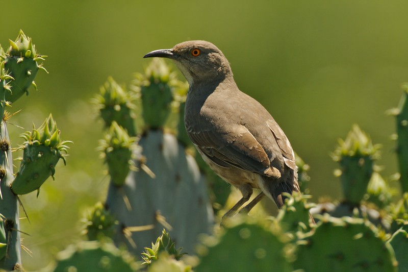Curve-billed Thrasher amongst Prickly Pear cactus [June; Sick Dog Ranch near Alice, Texas]