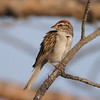 Chipping Sparrow [July; Park Point, Duluth, Minnesota]