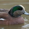American Wigeon [December; Bosque del Apache National Wildlife Refuge, San Antonio, New Mexico]