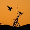 Bald Eagle pair silhouetted against a morning sky. They patrol the duck and geese flocks for sick and crippled birds [December; Bosque del Apache National Wildlife Refuge, San Antonio, New Mexico]
