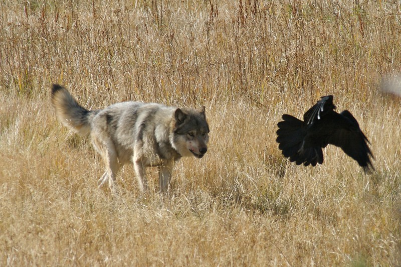 Ravens will take every opportunity to try and 'steal' some of the wolve's carcass [September; Yellowstone National Park, Wyoming]