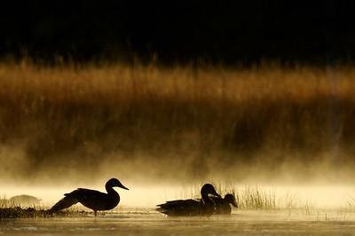 Ducks at sunrise [September; Yellowstone National Park, Wyoming]
