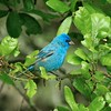 Indigo Buntings sing from tip top perches but may be in the undergrowth during migration [April; High Island, Texas]