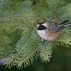 Boreal Chickadee [February; Sax-Zim Bog, Minnesota]