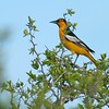 Bullock's Oriole is the western cousin of the Baltimore Oriole  [June; Sick Dog Ranch near Alice, Texas]