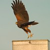 Harris's Hawks are one of our most beautiful raptors  [February; Sick Dog Ranch near Alice, Texas]