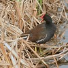 Common Moorhen from a boardwalk along the gulf coast of Texas [April; Padre Island, Texas]Rio Grande Valley, Lower Rio Grande Valley, Texas bird