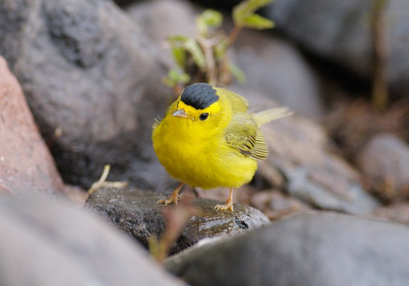 Fog grounds a Wilson's Warbler on Duluth's Park Point [May; Duluth, Minnesota]