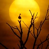 Black-bellied Whistling Duck sunrise[April; Krenmueller Farms, Lower Rio Grande Valley, Texas]