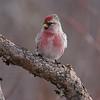 Common Redpoll male [February; Sax-Zim Bog, Minnesota]