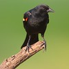 Red-winged Blackbird [April; Sick Dog Ranch near Alice, Texas]