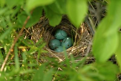Field Sparrow eggs are sky blue [June; Douglas County, Minnesota]